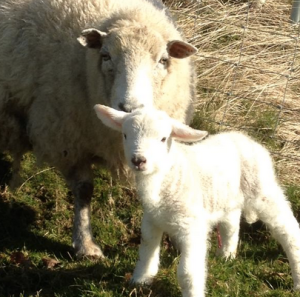This is @HerdyShepherd1's Easter lamb: born today!